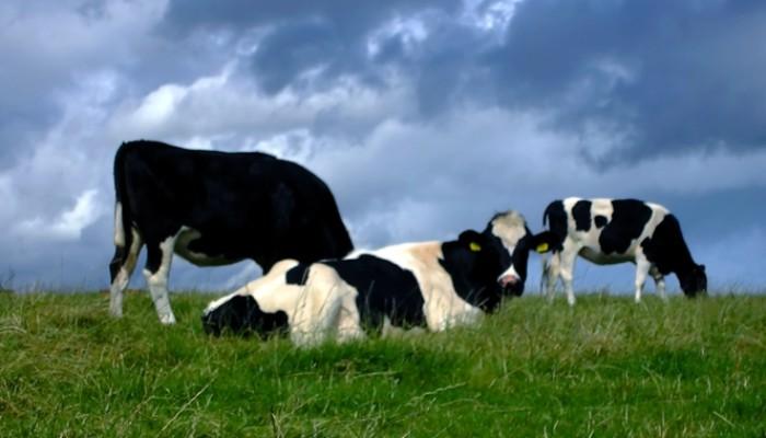 cow700