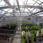 GMO: nowa szczepionka w liściu sałaty