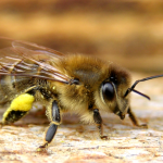APITERAPIA – leczenie produktami pszczelimi