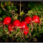 DZIKA RÓŻA – najlepsze, naturalne źródło witaminy C