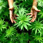 Marihuana na legalu. Wywiad z dr Markiem Bachańskim