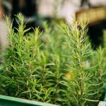 Ta roślina chroni przed skutkami promieniowania telefonów komórkowych